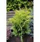 Gelbe Gartenzypresse lawsoniana Chamaecyparis »Stardust«-Thumbnail