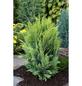 Gelbe Heckenzypresse lawsoniana Chamaecyparis »Alumigold«-Thumbnail