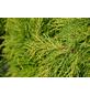 GARTENKRONE Gelber Strauchwacholder Juniperus Media »Old Gold«-Thumbnail
