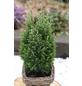 Gelbweiße Gartenzypresse Chamaecyparis  Chamaecyparis  »Snow White«-Thumbnail