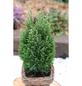 Gelbweiße Gartenzypresse lawsoniana Chamaecyparis »Snow White«-Thumbnail