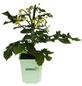 Gemüse »Naschtomate«, Gelb-Thumbnail