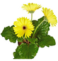 GARTENKRONE Gerbera, Gerbera hybrid, Blüte: gelb-Thumbnail