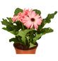 GARTENKRONE Gerbera, Gerbera hybrid, Blüte: rosa/pink-Thumbnail
