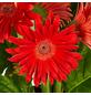 GARTENKRONE Gerbera, Gerbera hybrid, Blüte: rot-Thumbnail