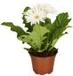 GARTENKRONE Gerbera, Gerbera hybrid, Blüte: weiß-Thumbnail