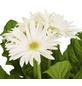 GARTENKRONE Gerbera »Gerbera Hybrid«, Weiß-Thumbnail