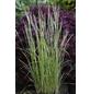 Gestreiftblättriges Garten-Reitgras acutiflora Calamagrostis »Overdam«-Thumbnail