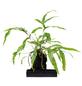 flowerbox Geweihfarne, Platycerium ,-Thumbnail