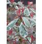 GARTENKRONE Glanzmispel, Photinia fraseri »Pink Marble «, weiß, winterhart-Thumbnail