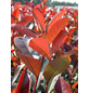 GARTENKRONE Glanzmispel Photinia fraseri »Red Robin«-Thumbnail