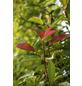 GARTENKRONE Glanzmispel, Photinia fraseri »Red Robin«, weiß, winterhart-Thumbnail