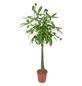 Gluecksbaum, Pachira aquatica,-Thumbnail