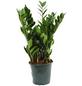 Glücksfeder, zamiifolia Zamioculcas-Thumbnail