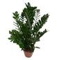 Glücksfeder, Zamioculcas zamiifolia,-Thumbnail