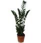 Glücksfeder Zamioculcas zamiifolia-Thumbnail