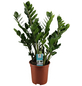 Glücksfeder, Zamioculcas zamiifolia, im Kunststoff-Kulturtopf-Thumbnail