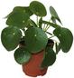 Glückstaler Pilea peperomiodes-Thumbnail
