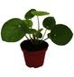 Glückstaler Pilea peperomioides-Thumbnail