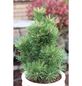 Gnomkiefer mugo Pinus »Gnom«-Thumbnail