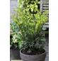Gold-Eibe Taxus baccata »Semperaurea«-Thumbnail