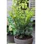 Gold-Eibe, Taxus baccata »Semperaurea«, Blattfarbe grün-Thumbnail