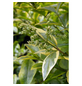 GARTENKRONE Gold-Liguster Ligustrum ovalifolium »Aureum«-Thumbnail
