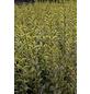 Gold-Liguster, Ligustrum ovalifolium »Aureum«, Blütenfarbe cremeweiß-Thumbnail