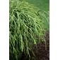 BOTANICO Goldfadenscheinzypresse pisifera Chamaecyparis »Golden Mop«-Thumbnail