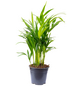 Goldfruchtpalme Dypsis lutescens-Thumbnail