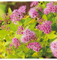 GARTENKRONE Goldgelber Spierstrauch, Spiraea japonica »Golden Princess«, Blütenfarbe rosa/pink-Thumbnail