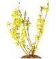 GARTENKRONE Goldglöckchen Forsythia intermedia »Goldrausch«-Thumbnail