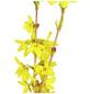 GARTENKRONE Goldglöckchen, Forsythia intermedia »Goldrausch«, gelb, winterhart-Thumbnail