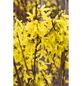 Goldglöckchen, Forsythia intermedia »Lynwood«, Blütenfarbe gelb-Thumbnail