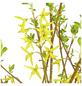 GARTENKRONE Goldglöckchen, Forsythia intermedia »Lynwood«, gelb, winterhart-Thumbnail