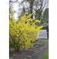 Goldglöckchen, Forsythia intermedia »Mikador «, Blütenfarbe goldgelb-Thumbnail