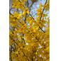 GARTENKRONE Goldglöckchen, Forsythia intermedia »Week End «, gelb, winterhart-Thumbnail