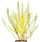 GARTENKRONE Goldglöckchen Forsythia intermedia »Week End -R-«-Thumbnail