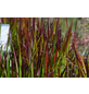 Gräser Elegras, aktuelle Pflanzenhöhe: 25-30 cm, mehrfarbig-Thumbnail