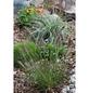 Gräser, »in Sorten«, aktuelle Pflanzenhöhe: 10-30 cm, mehrfarbig-Thumbnail