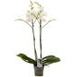 Großblumige Schmetterlingsorchidee, Phalaenopsis Hybriden, Blüte: weiß-Thumbnail
