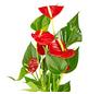 GARTENKRONE Große Flamingoblume Anthurium andraeanum 2 – 3 Blüten rot Ø 10,5 cm-Thumbnail