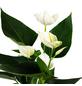 GARTENKRONE Große Flamingoblume Anthurium andraeanum 2 – 3 Blüten weiß Ø 10,5 cm-Thumbnail