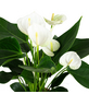 GARTENKRONE Große Flamingoblume Anthurium andraeanum 4 – 6 Blüten weiß Ø 12 cm-Thumbnail