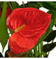 GARTENKRONE Große Flamingoblume Anthurium andraeanum 6 – 8 Blüten orange Ø 14 cm-Thumbnail