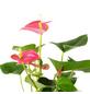 GARTENKRONE Große Flamingoblume Anthurium andraeanum 6 – 8 Blüten rosa Ø 17 cm-Thumbnail