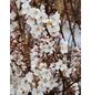 Großfrüchtige Blutpflaume, Prunus cerasifera »Hollywood«, Blütenfarbe weiß-Thumbnail