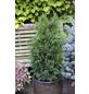 Grüne Säulenzypresse Chamaecyparis  Chamaecyparis  »Erecta Robusta«-Thumbnail