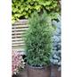 Grüne Säulenzypresse lawsoniana Chamaecyparis »Erecta Robusta«-Thumbnail