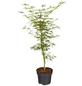 GARTENKRONE Grüner Schlitzahorn Acer palmatum »Dissectum Viridis'«-Thumbnail